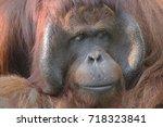 full face of orangutans | Shutterstock . vector #718323841