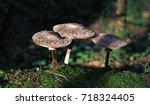 family of forest mushrooms | Shutterstock . vector #718324405