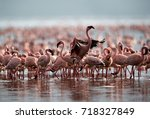 A Flock Of Lesser Flamingos ...