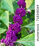 Small photo of American Beautyberry Callicarpa Americana