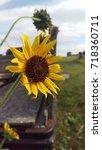 Small photo of prairie sunflower