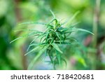 cannabis indica  formally known ... | Shutterstock . vector #718420681
