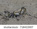 Fiddler Crabs  Ghost Crabs.