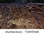 Slope With Roots Of An Old Pin...