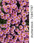 Colorful Pink Aster Alpinus...