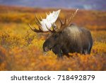 A Bull Moose Wanders Across Th...