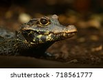 African dwarf crocodile, broad-snouted bony crocodile, Osteolaemus tetraspis, detail portrait in nature habitat. Lizard with big eyes. Wildlife scene from tropical forest in Africa, in the river.