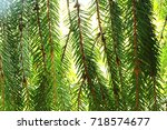 branch of spruce | Shutterstock . vector #718574677