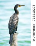 Small photo of Cormorant, Shag is Standing on deadwood.