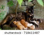 Stock photo cat nursing kittens feral cat feeding kittens the protection of animals homeless animals 718611487
