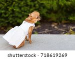 Small Dog Chihuahua In White...