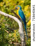 native of south america  a... | Shutterstock . vector #718640641