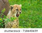 Portrait Of A Cheetah Cub...