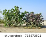 large bushes of ricinus. a... | Shutterstock . vector #718673521