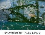 many frogs are found in a pond...   Shutterstock . vector #718712479