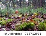 Red Brown Slender Amanite In...