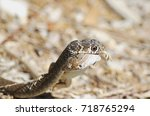 snake eating lizard   detail | Shutterstock . vector #718765294