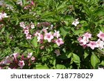 pink flowers among green leaves ...   Shutterstock . vector #718778029