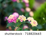 pink and yellow flowers | Shutterstock . vector #718820665