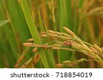 plant disease  dirty panicle... | Shutterstock . vector #718854019