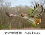red tailed hawk flying close up | Shutterstock . vector #718914187
