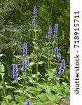 Small photo of Agastache 'Black Adder' in a flower garden border