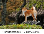 dog breed red shiba. he is a... | Shutterstock . vector #718928341