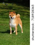 dog breed red shiba. he is a... | Shutterstock . vector #718928365