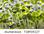 young green broccoli sprouts ... | Shutterstock . vector #718935127