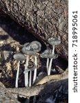 Small photo of Hare'sfoot Ink-Cap Fungus - Coprinopsis lagopus on woodland floor