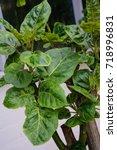 Cyphomandra Betacea Tree Tomat...
