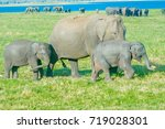 Wild Elephants At Minneriya...