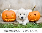 Stock photo golden retriever puppy lying down with carved pumpkins 719047321