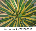 Small photo of Top view , Agave americana , sentry plant , or American aloe.