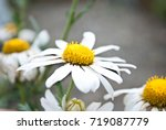 several large chamomiles | Shutterstock . vector #719087779