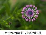 An African Daisy Bloom With...