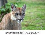 The Cougar  Puma Concolor  ...