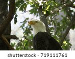 Small photo of Eagle