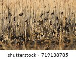 Small photo of Yellow-headed Blackbird going to roost roost - Whitewater Draw, Sierra Vista, Arizona