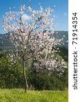 almond tree in blossom ... | Shutterstock . vector #71914354