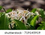 Small photo of Canarium pimela (Black Myrobalan,Chebulic Myrobalan). Ripe Chebulic Myrobalan fruits hang on the tree. Thailand