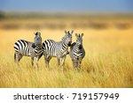 Zebra Grass Nature Habitat National - Fine Art prints