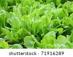 Fresh Organic Leaves Of Spinach ...