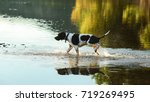 dog english pointer running in... | Shutterstock . vector #719269495