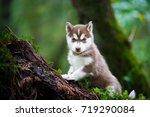 Portrait Of The Curious Husky...