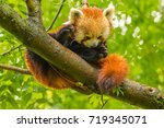 ped panda is looking into the... | Shutterstock . vector #719345071