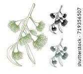 eucalyptus flowering gumnut set ... | Shutterstock .eps vector #719356507