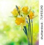 Beautiful Yellow Daffodil...