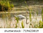 swan  lake  summer  reeds ... | Shutterstock . vector #719623819