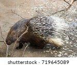 african tortrix porcupine | Shutterstock . vector #719645089